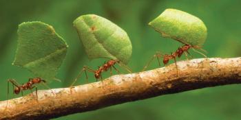 semut gotong royong